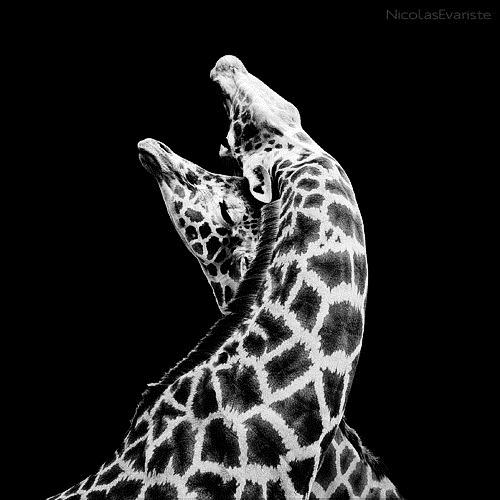 029-black-white-animal-photography